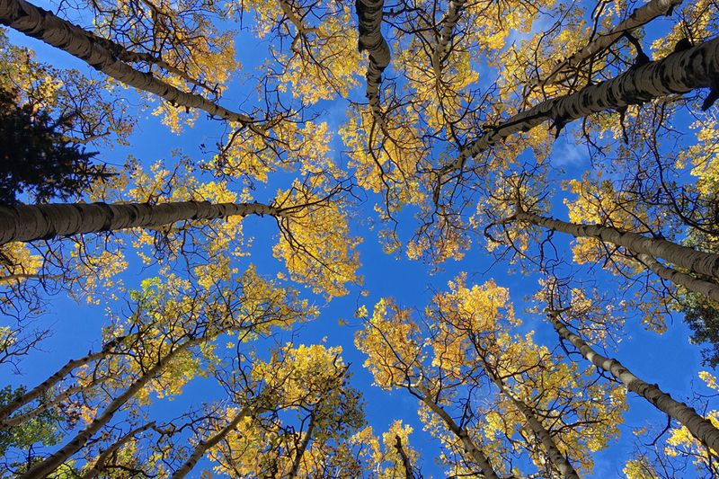 Group of Aspen trees